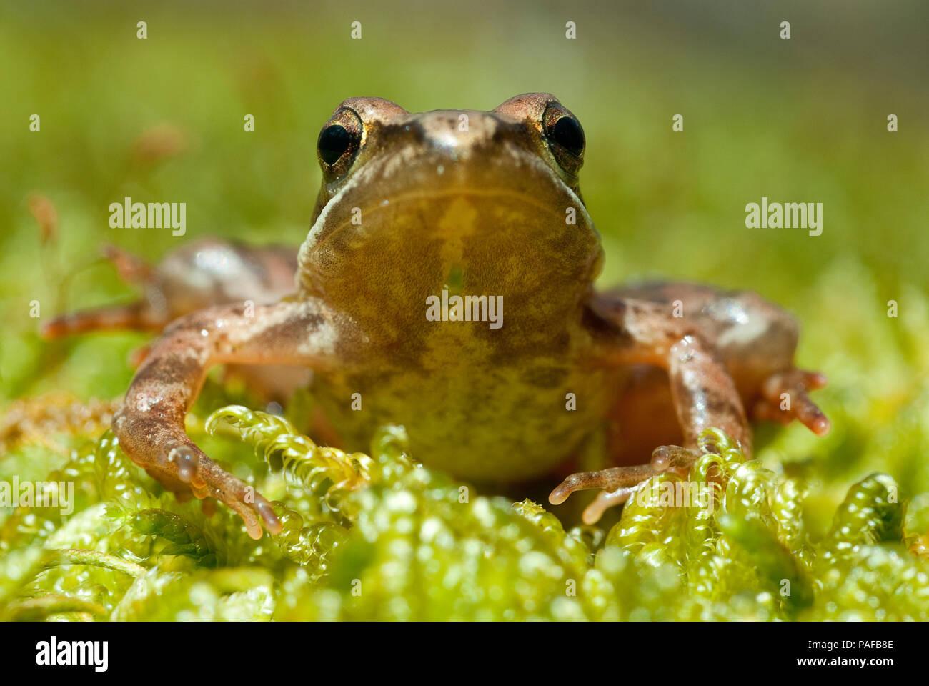 Iberian frog (Rana iberica) leggy frog - Stock Image