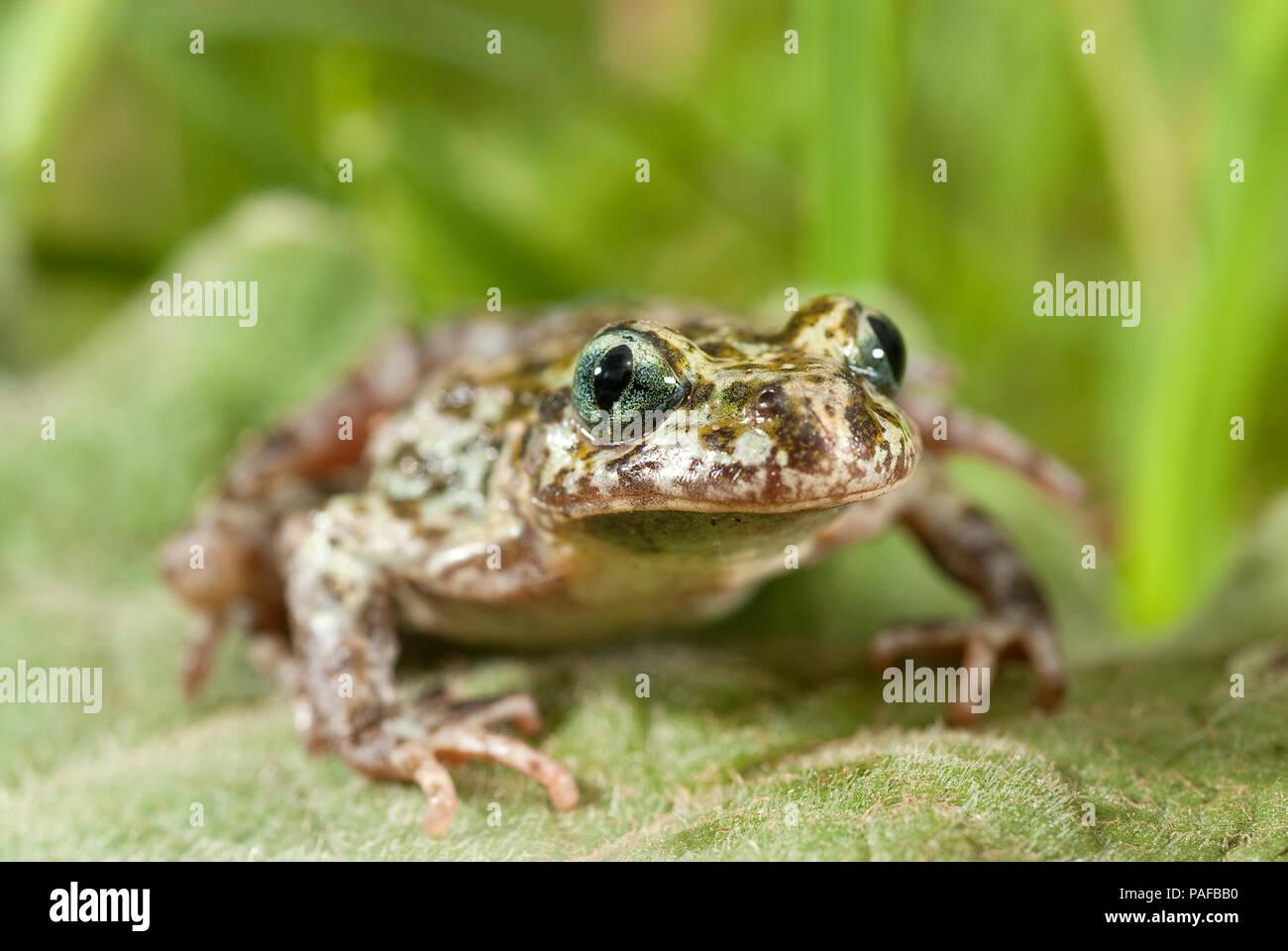 Iberian speckled sapillo (Pelodytes ibericus), amphibian - Stock Image