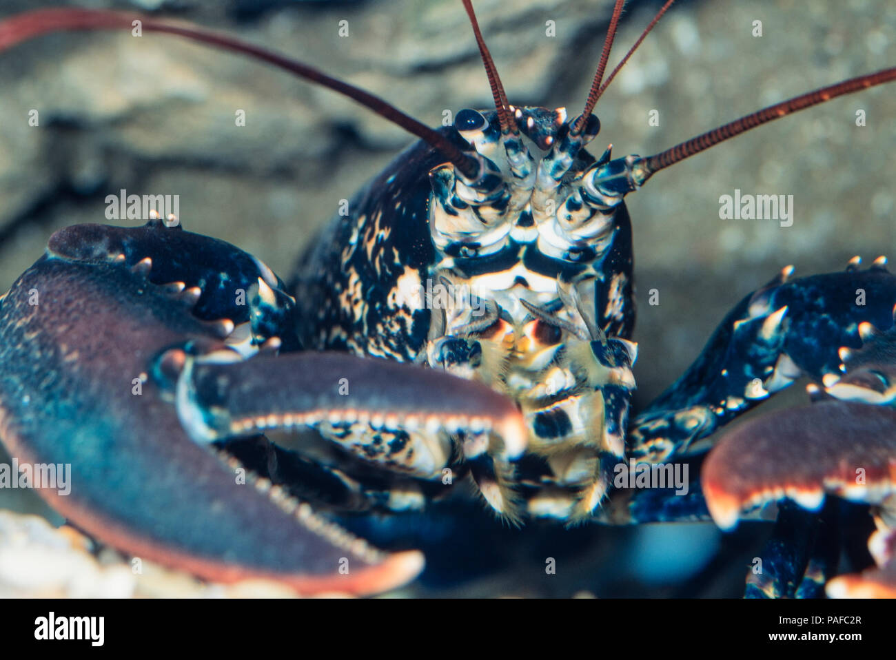 European lobster or common lobster, Homarus gammarus, head detail. Is traditionally 'highly esteemed' as a foodstuff and may fetch very high prices. - Stock Image