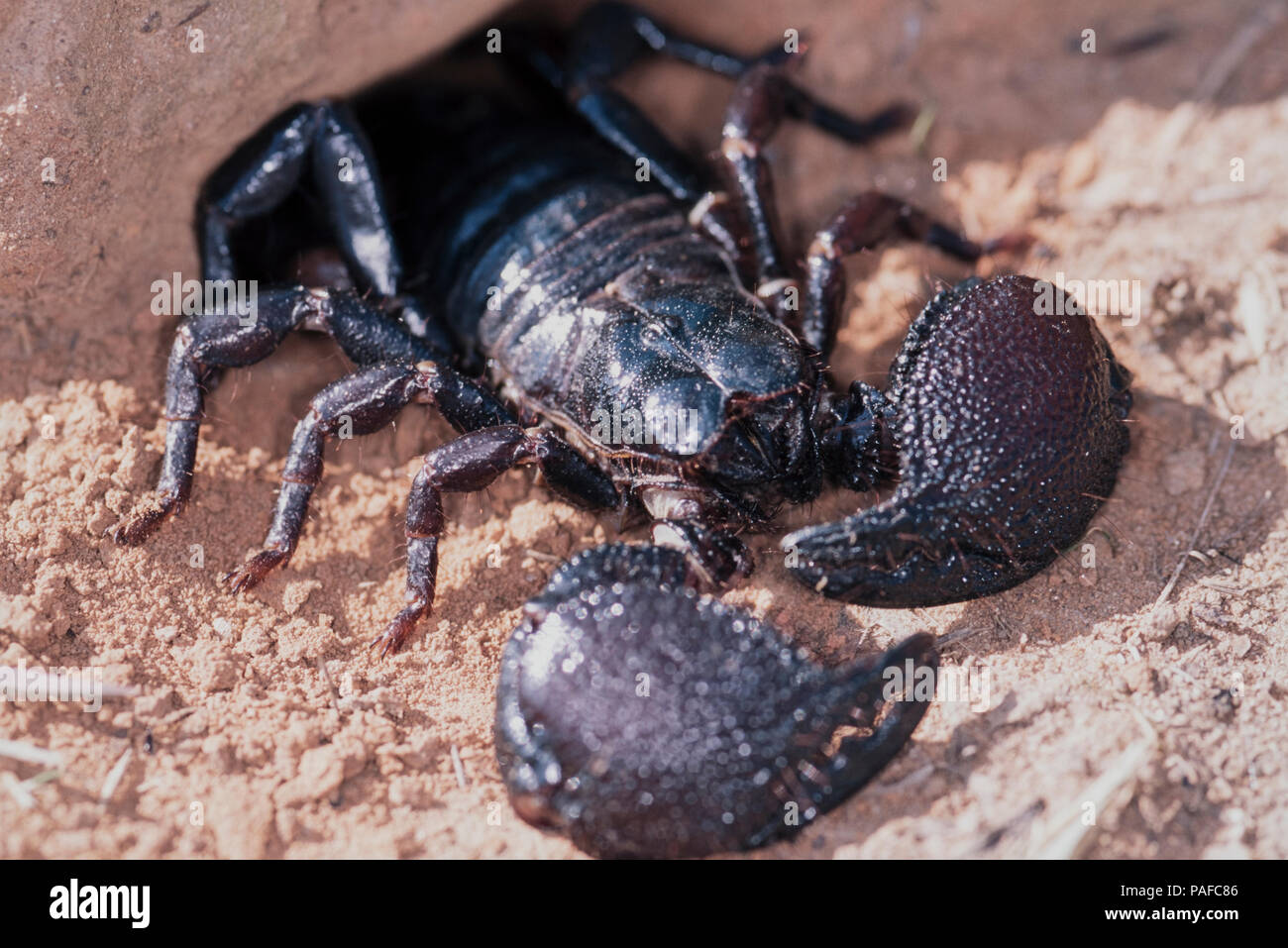 Giant forest scorpion, Heterometrus swammerdami, coming out of the burrow. Is the largest scorpion in the world with 23 cm in length and as much as Stock Photo