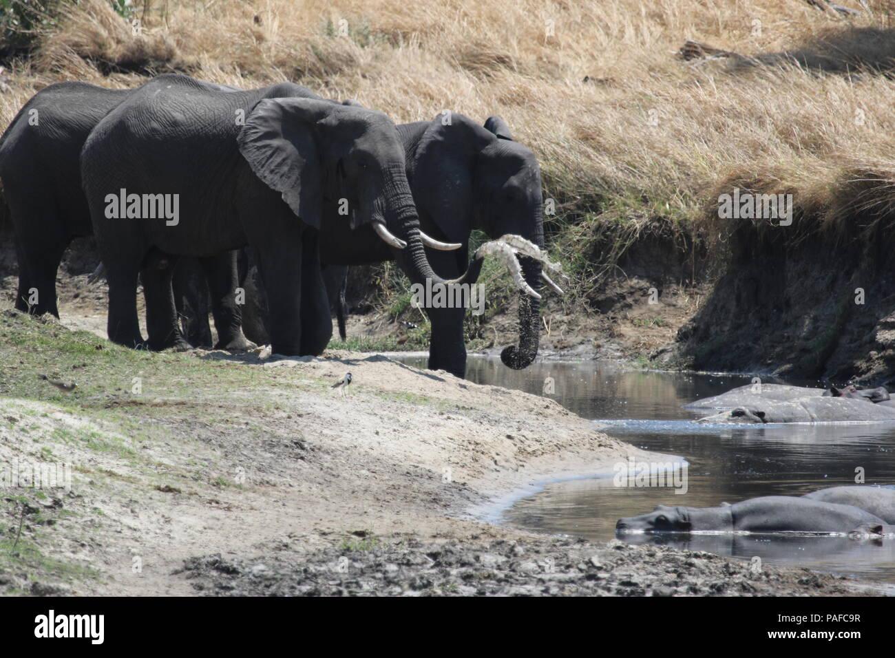 Tanzania elephants - Stock Image