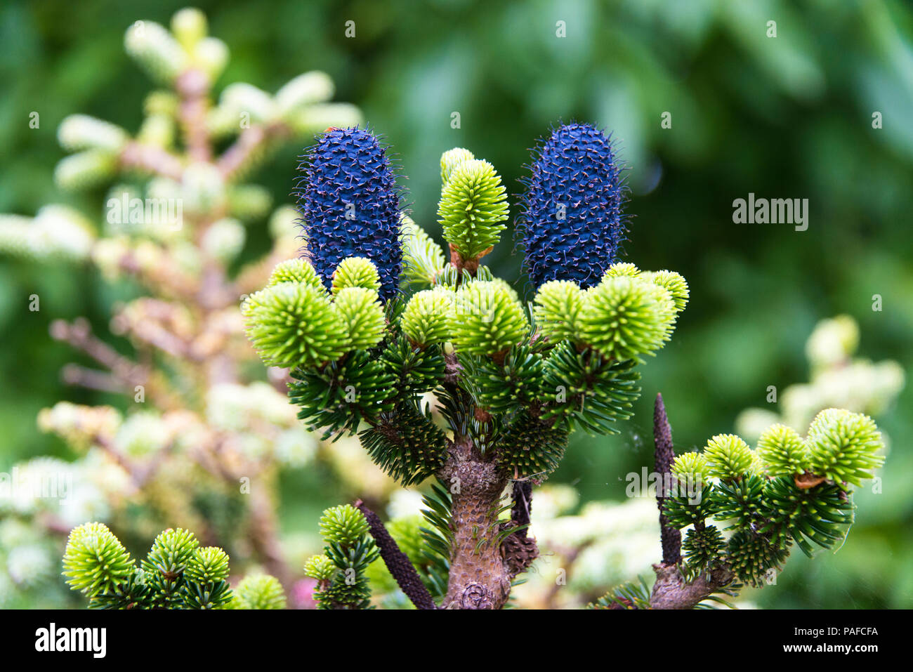 Small Fir Plant Abies Delavayi Buchananfamily Pinacae Stock Photo