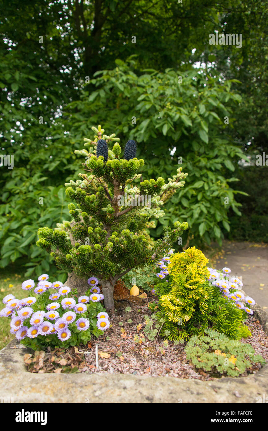 Abies Delavayi Stock Photos Abies Delavayi Stock Images Alamy
