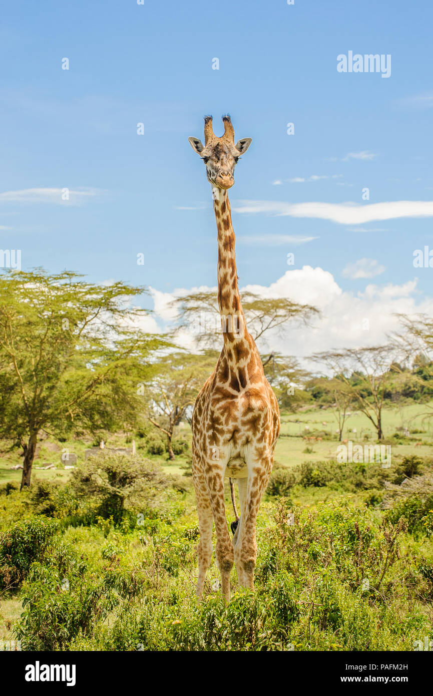 Full height photo of a Masai or Kilimanjaro Giraffe standing in bushes on a beautiful sunny day in Hell's Gate National Park on a safari in Kenya - Stock Image