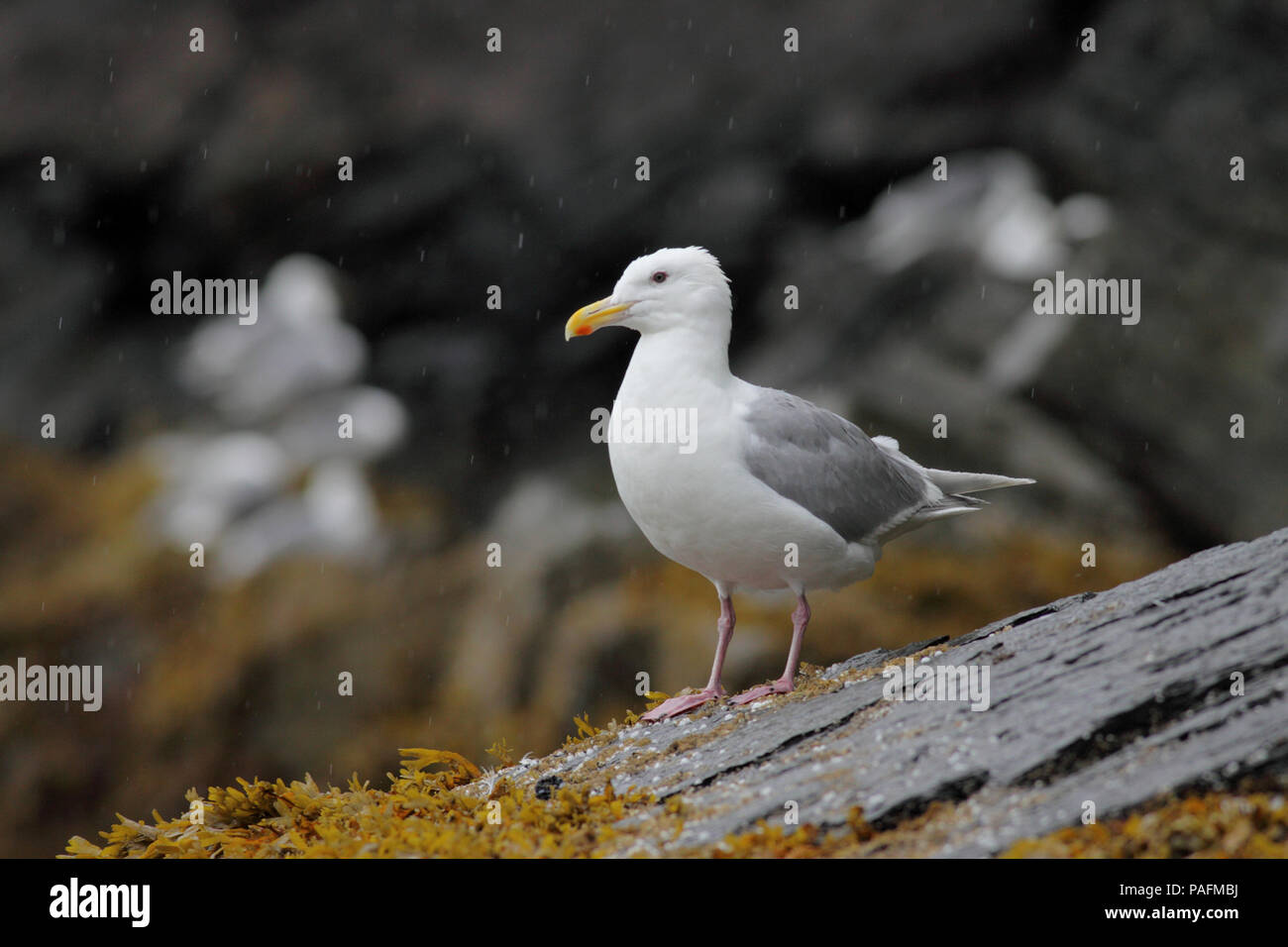 Glaucous-winged Gull August 7, 2010 Fox Island, Alaska - Stock Image