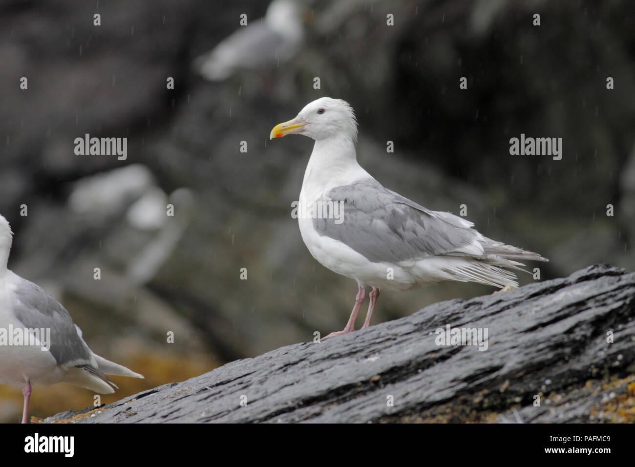 Glaucous-winged Gull August 7th, 2010 Fox Island, Alaska - Stock Image