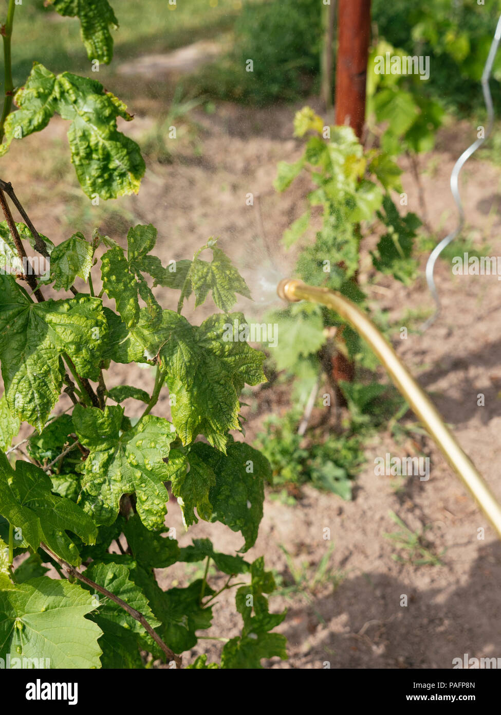 Gardener spraying grapevines leaves with a sulfur-based fungicide against mildew. Stock Photo