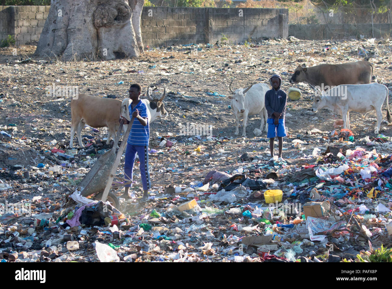 Boys dumping rubbish with cows in background,  village rubbish dump, Brufut, The Gambia - Stock Image