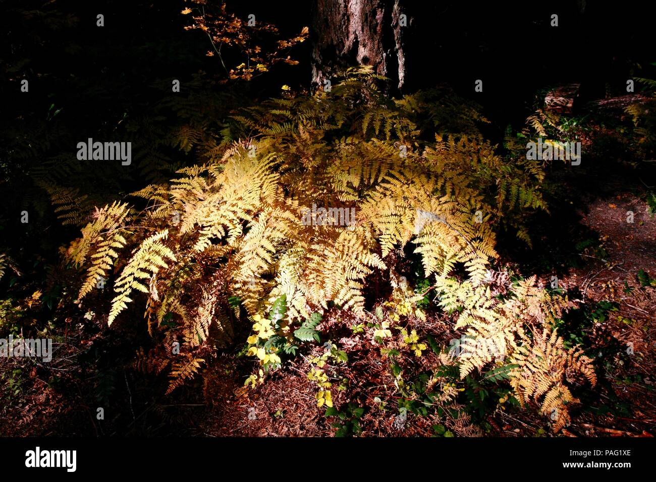 Sunlit Ferns in shadowy forest - Stock Image
