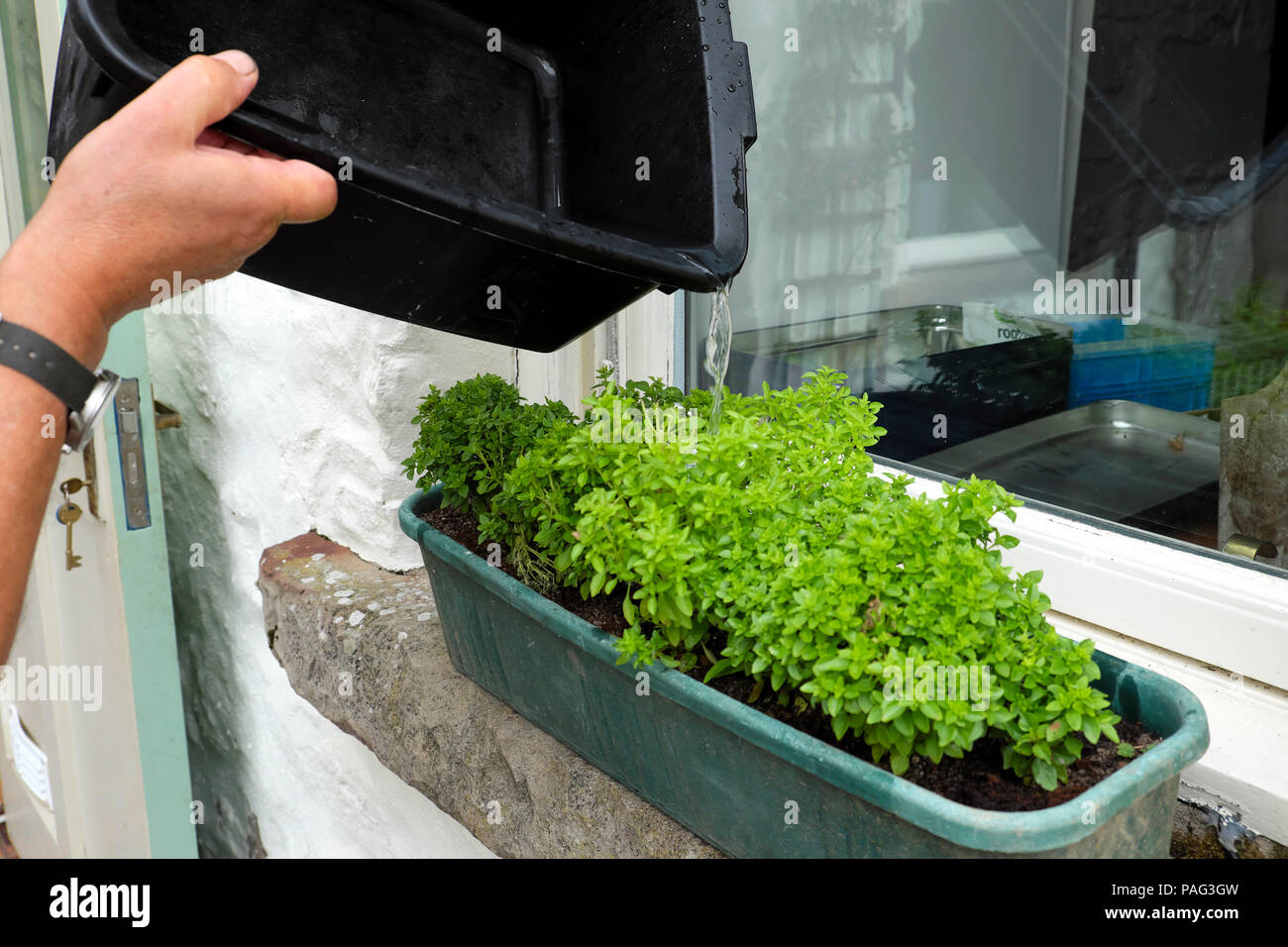 A person pouring recycling water from a washing up bowl onto a window box container planter with Greek basil plants growing in Wales UK  KATHY DEWITT - Stock Image