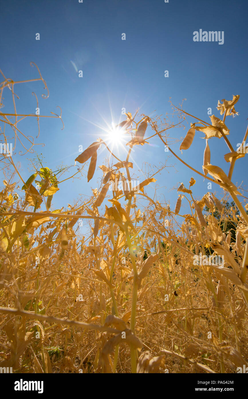 Pea plants during the UK 2018 heatwave under a blue sky and hot sun. There are fears of a pea shortage due to the hot weather affecting the crop. 15.7 - Stock Image
