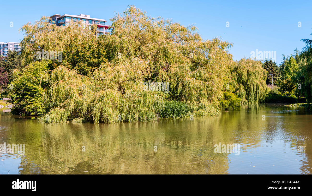 A wooden bench in a summer park near a pond with floating ducks, green trees, a multi-story building and a blue sky in the background - Stock Image