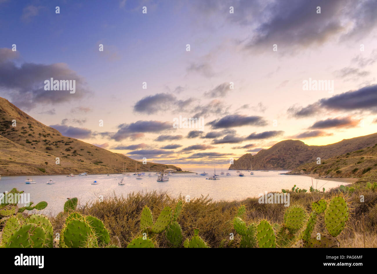 A field of cactus with Catalina Harbor on Catalina Island in the background. - Stock Image