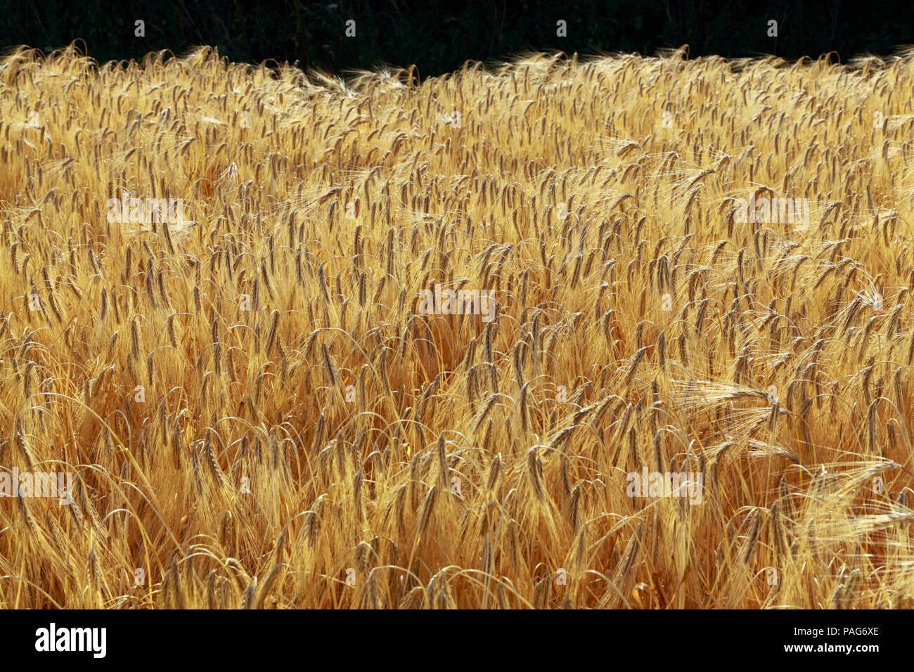 Barley, cereal grain crop, detail,bearded grain heads, Norfolk, England, UK - Stock Image