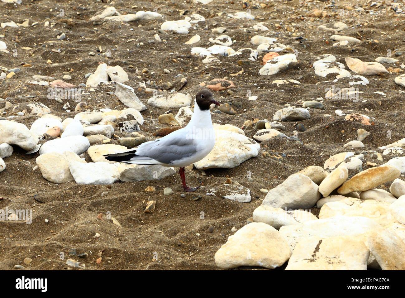 Black Headed Gull, Black Head Gull,, sea bird, sandy, pebble, beach, England, UK - Stock Image
