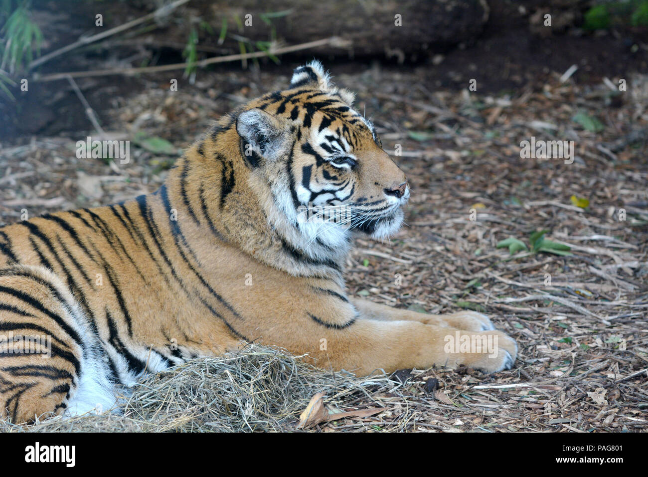 Face of a Sumatran tiger lying down on the ground. Sumatran tiger is endangered animal primarily due to conversion for palm oil and pulp plantations i Stock Photo