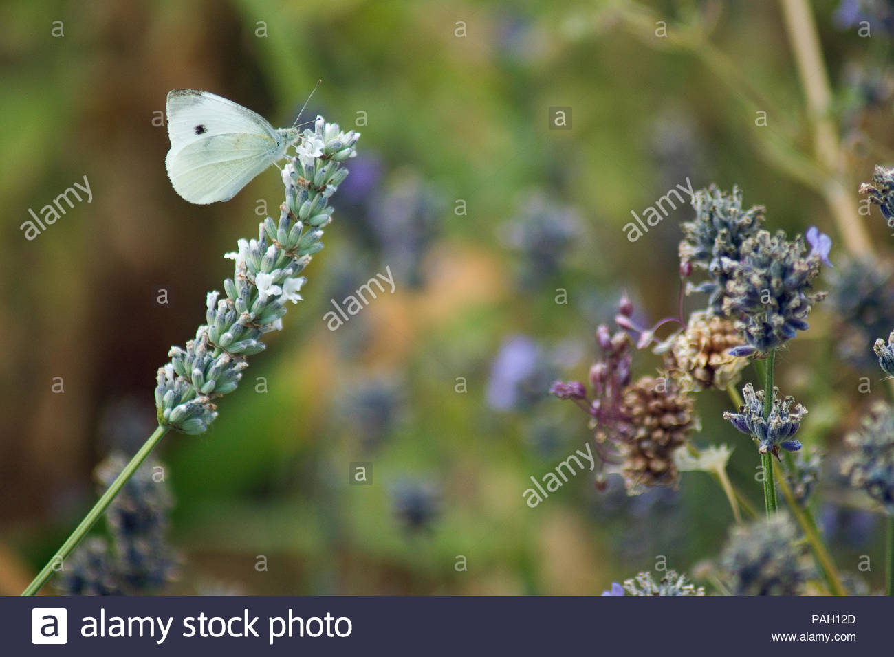 A male pieris rapae butterfly, aka cabbage white, feeding on nectar - Stock Image