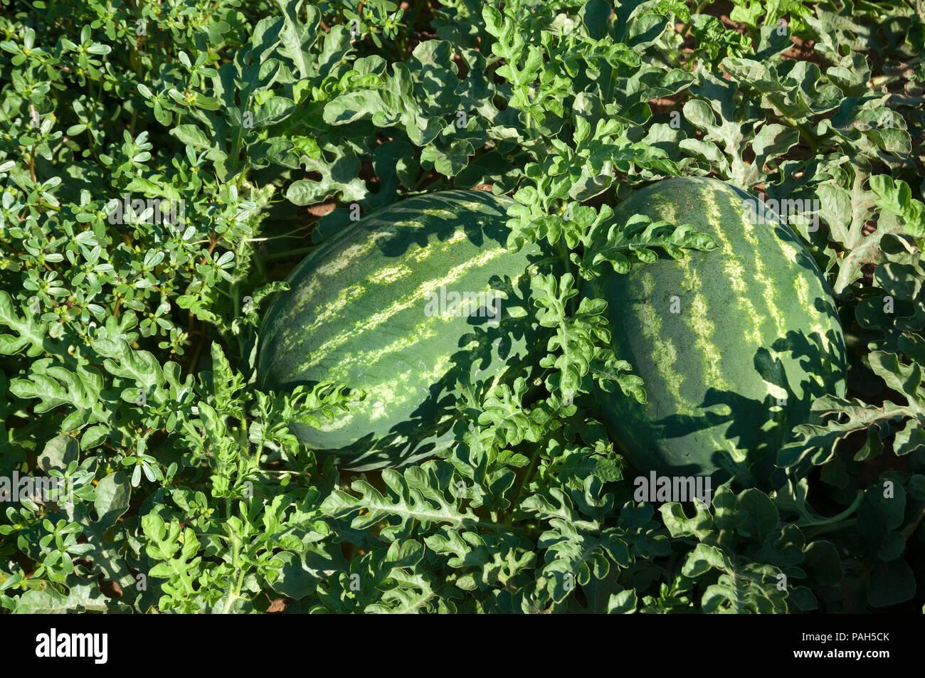 Watermelon fields in picking season - Stock Image