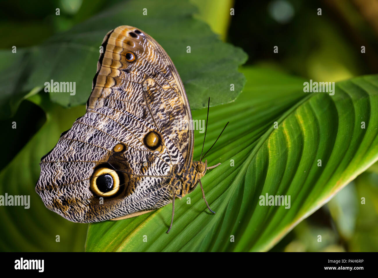 Giant owl butterfly  - Caligo memnon, beautiful large butterfly from Central America forests. - Stock Image