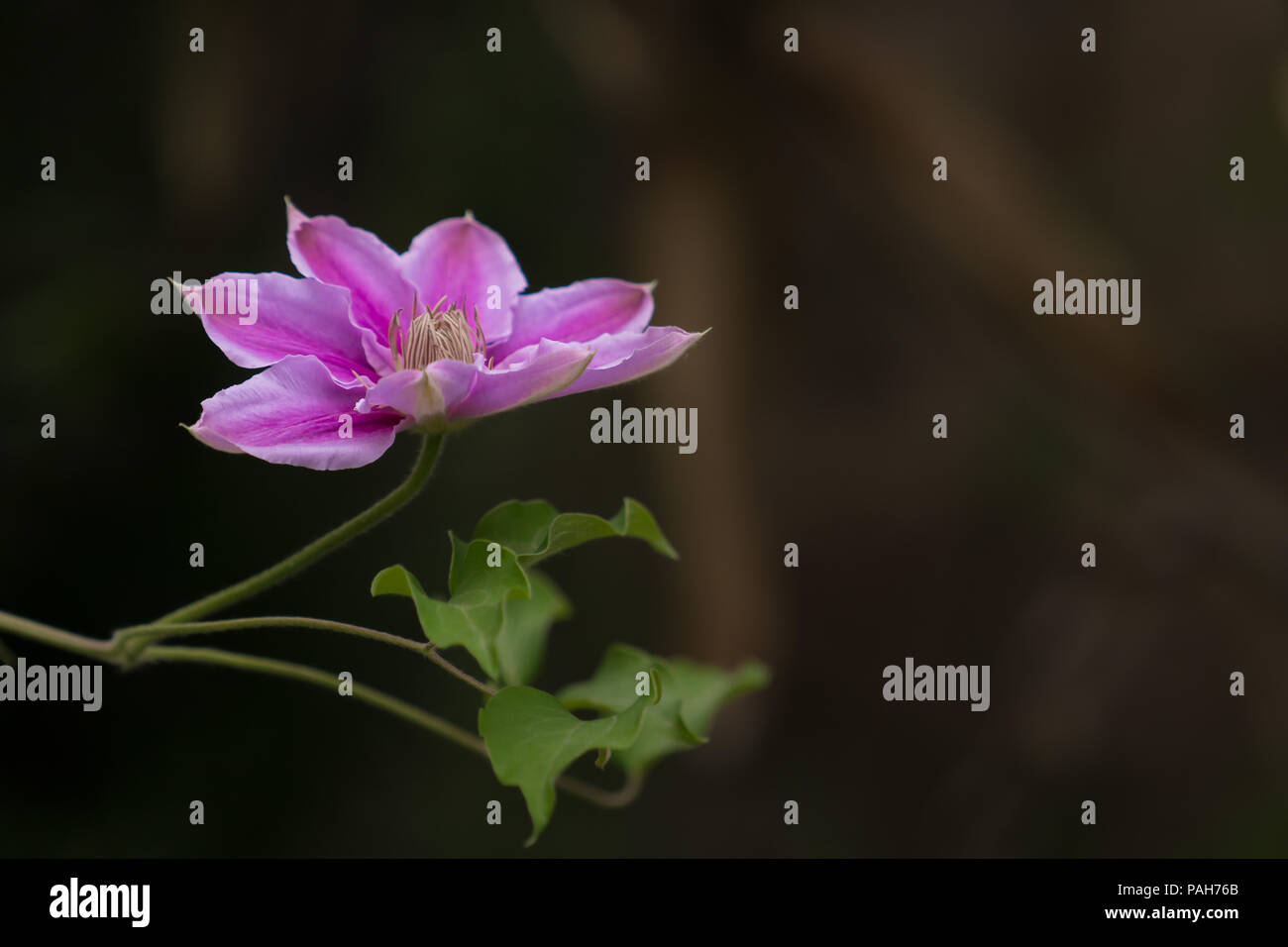 Violet flower with warm brown earthy background - Stock Image
