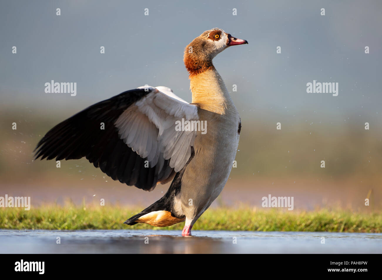 Egyptian Goose Alopochen aegyptiaca cloose up in profile flapping its wings after bathing in a shallow lagoon - Stock Image