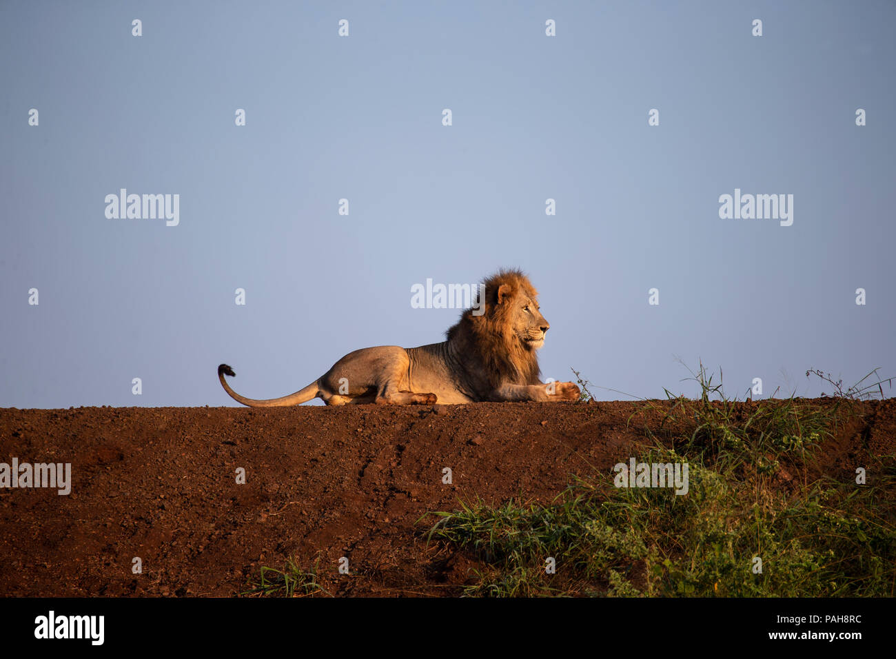 Male South African Lion Panthera leo lying on the bank of a dam in the early morning light - Stock Image