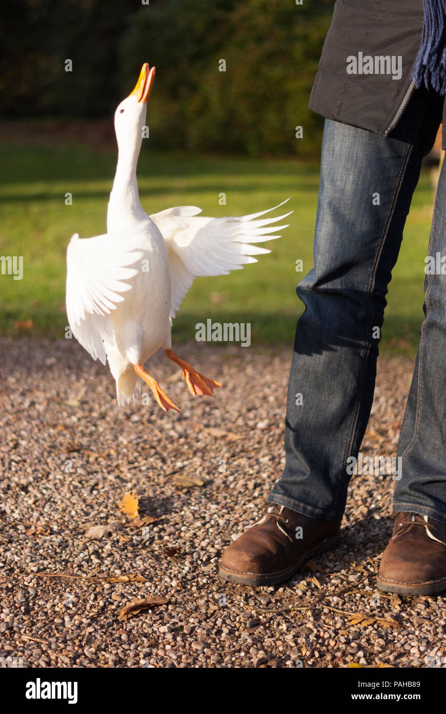 A white Pekin duck, Anas platyrhynchos, that wouldn't leave a tourist alone and kept flying up to her hand looking for bread! Near Warwick, England - Stock Image