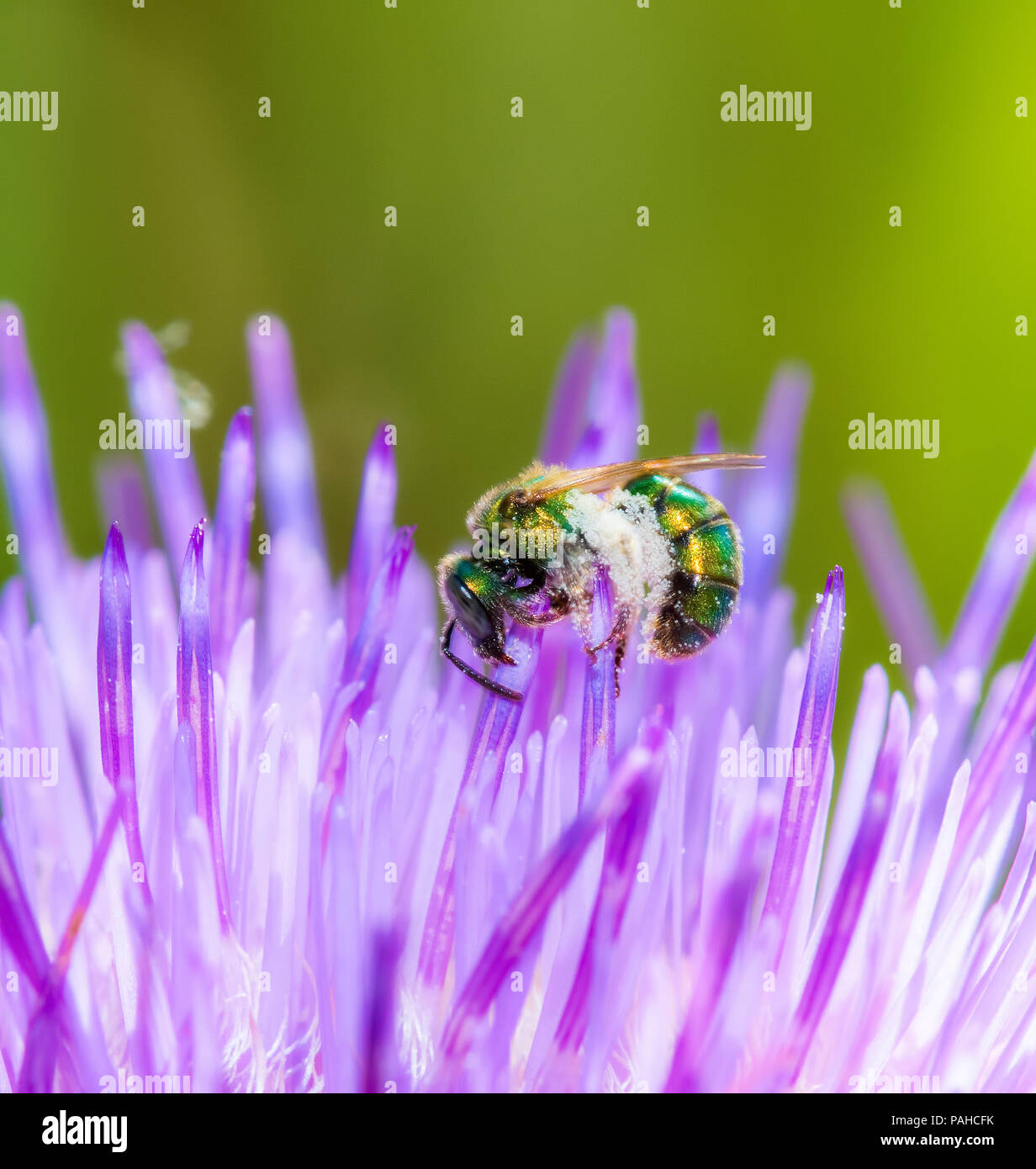 Macro of a Sweat Bee (Halictidae) Collecting Pollen in a Bright Purple Thistle - Stock Image