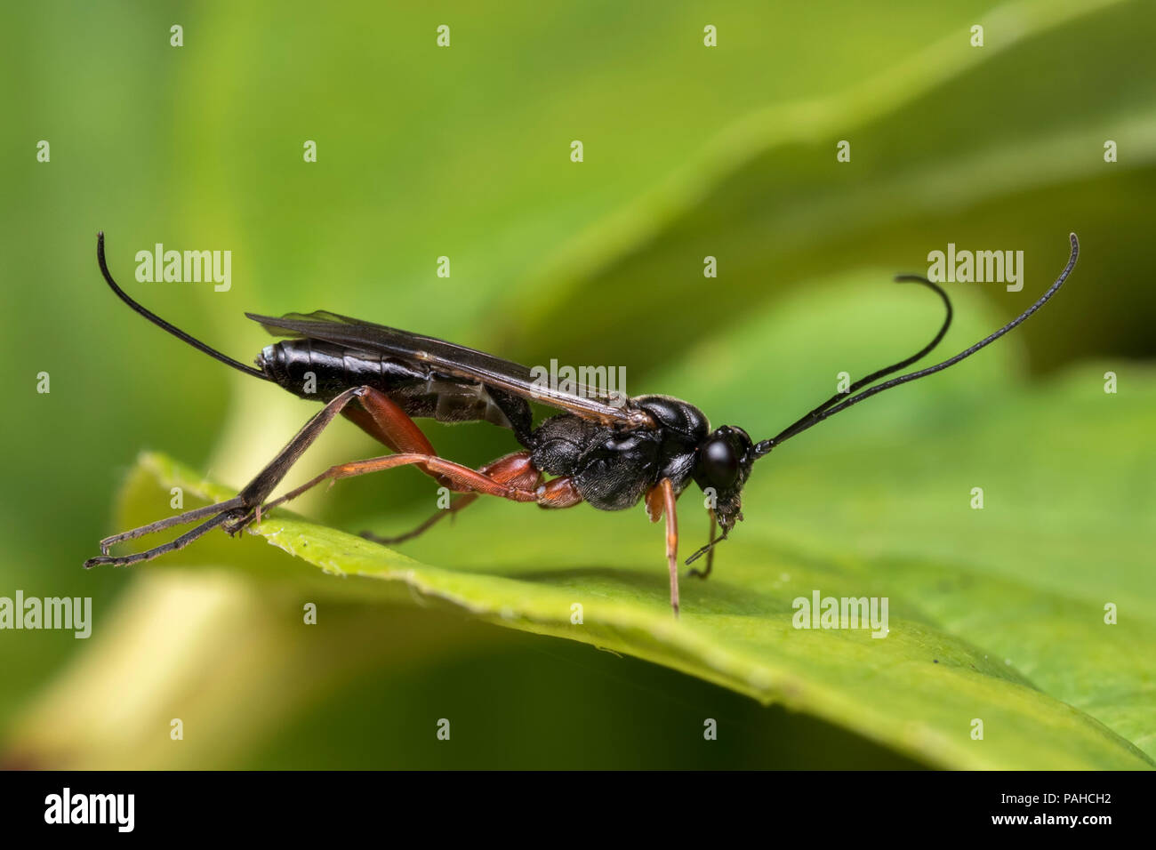 Ichneumonid Wasp resting on bramble leaf. Tipperary, Ireland - Stock Image