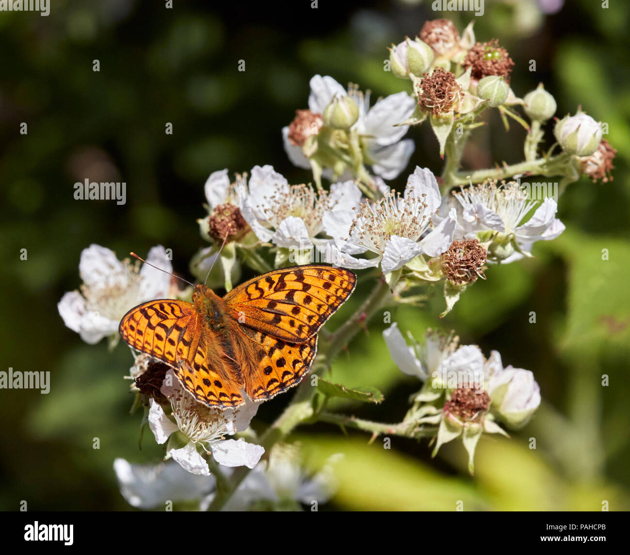 High Brown Fritillary on Bramble flowers. Aish Tor, Dartmoor National Park, Devon, England. - Stock Image