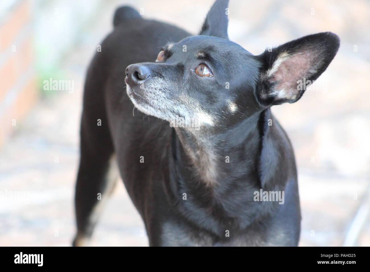Black male dog - Stock Image
