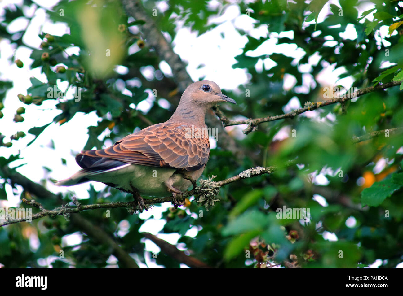 Turtle dove (Streptopelia turtur) perched in a tree. - Stock Image