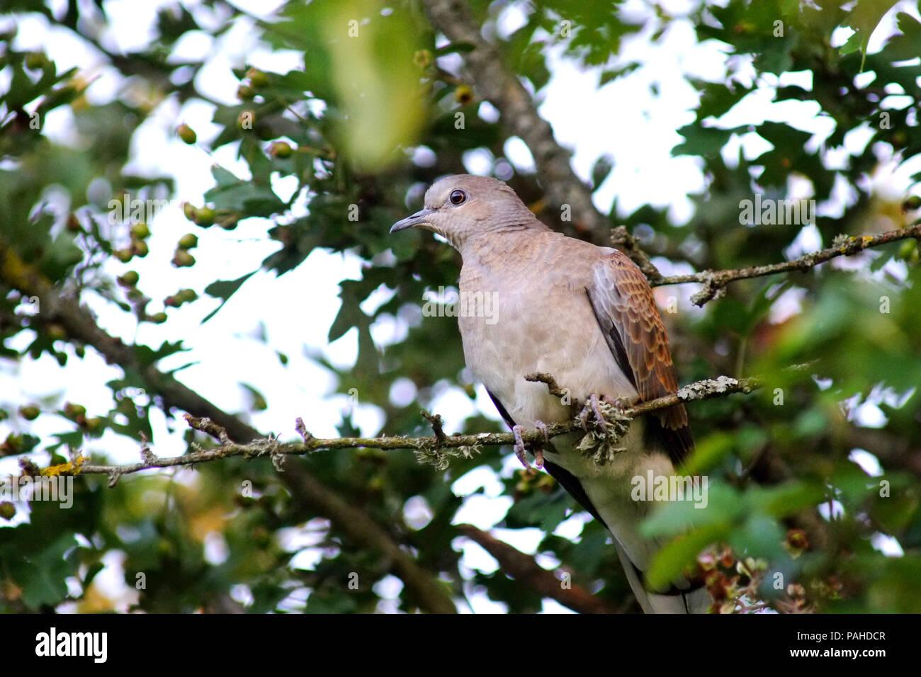 Turtle dove in the UK - Stock Image