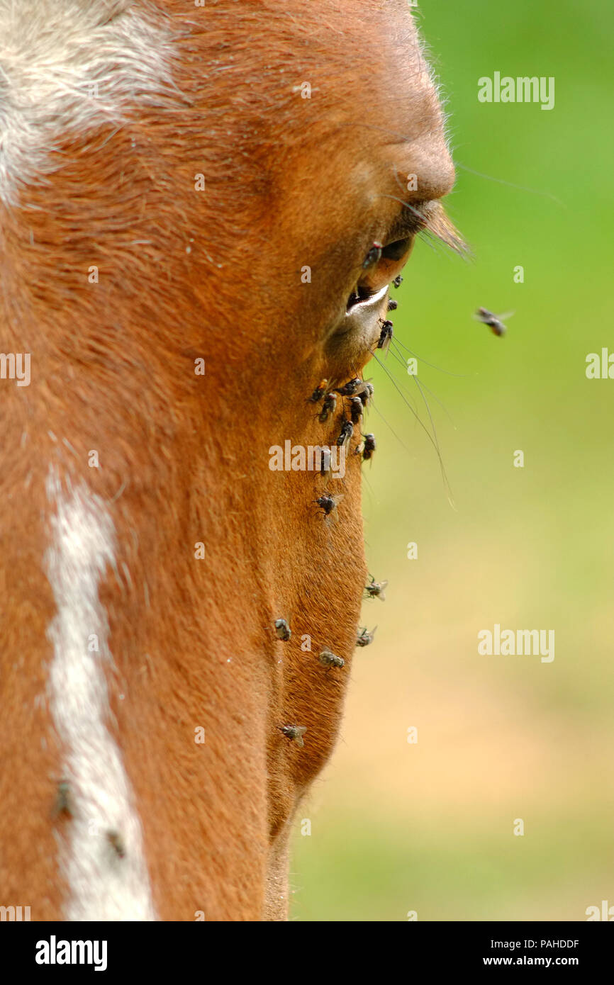 Flies on a horses face in summer - Stock Image