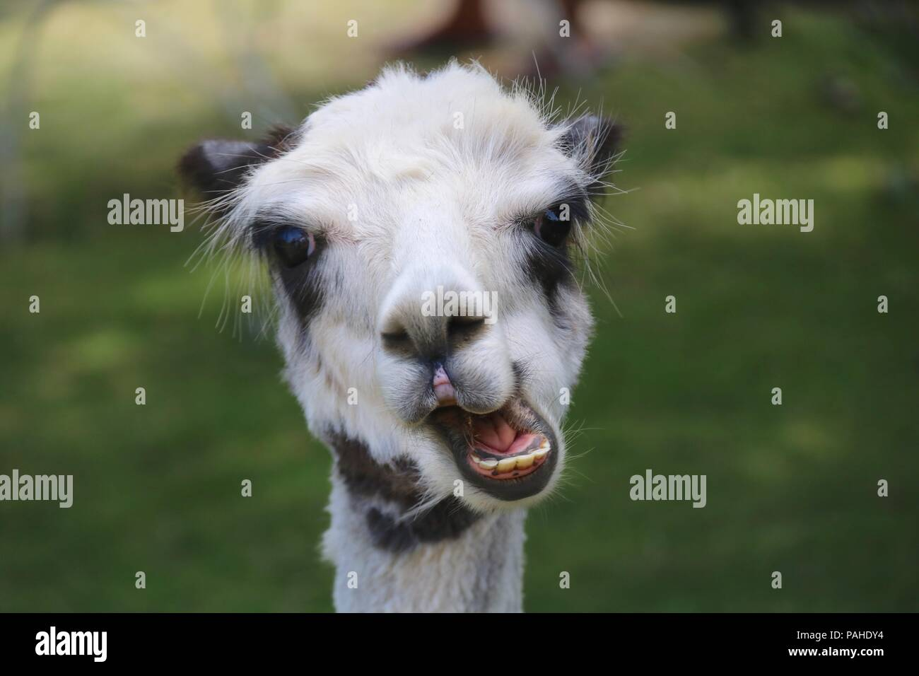 A cute black and white alpaca chewing food - close up on the head.  The animals are farmed for their soft wool fleeces. - Stock Image