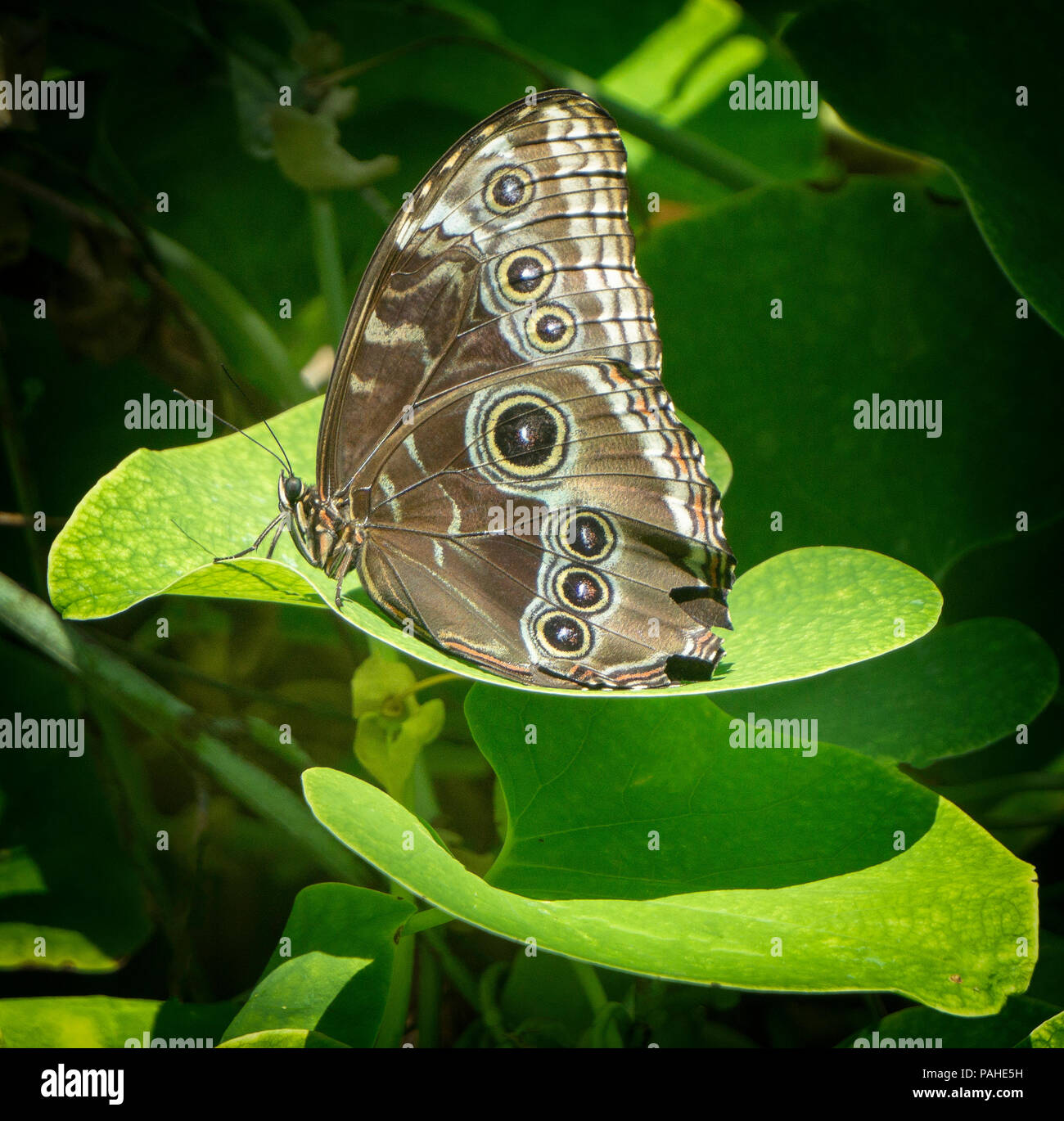 Brush-footed butterfly Calgary Alberta Canada - Stock Image