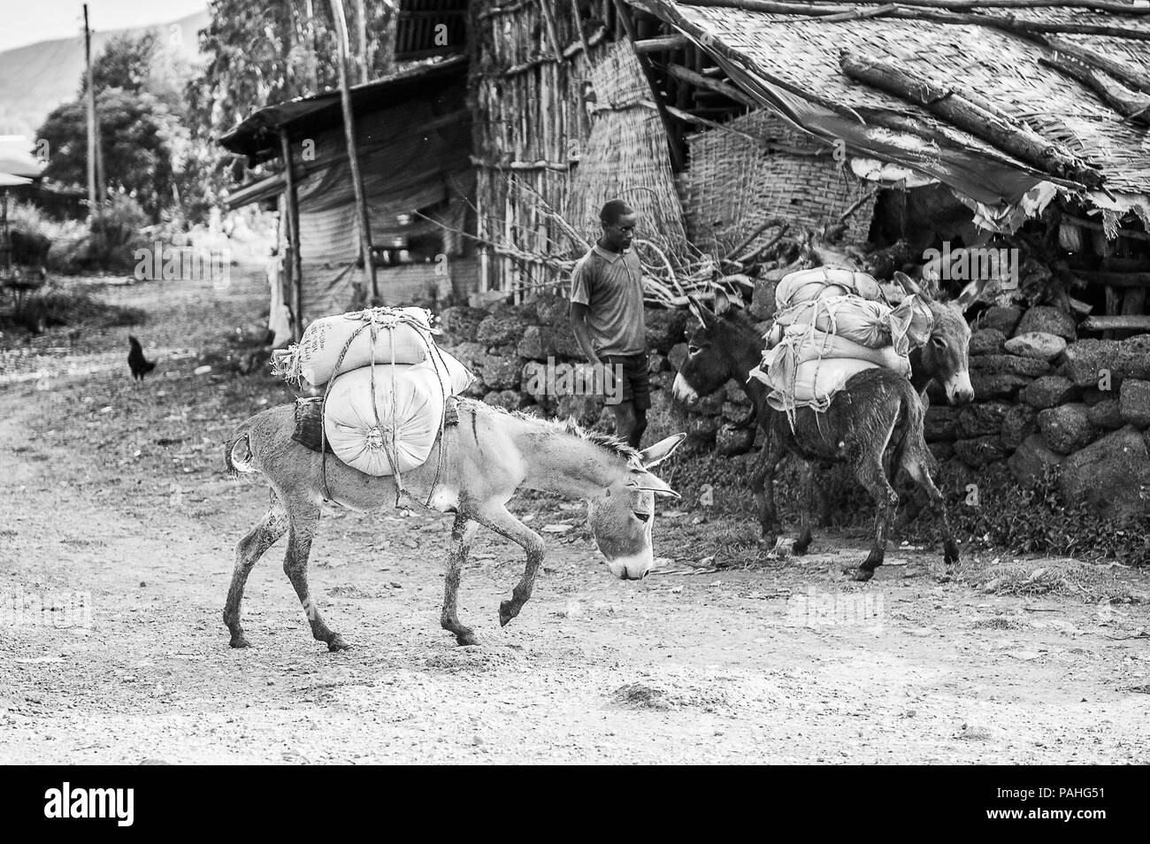 OMO, ETHIOPIA - SEPTEMBER 19, 2011: Unidentified Ethiopian man with donkeys. People in Ethiopia suffer of poverty due to the unstable situation Stock Photo