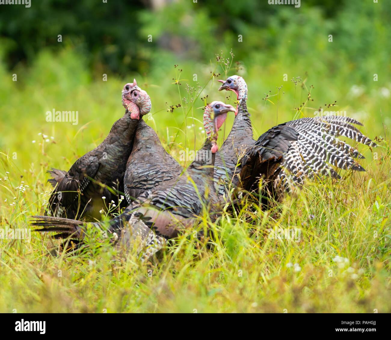 Four wild eastern turkeys fighting to establish dominance of the flock, in the Adirondack Mountains, NY USA - Stock Image