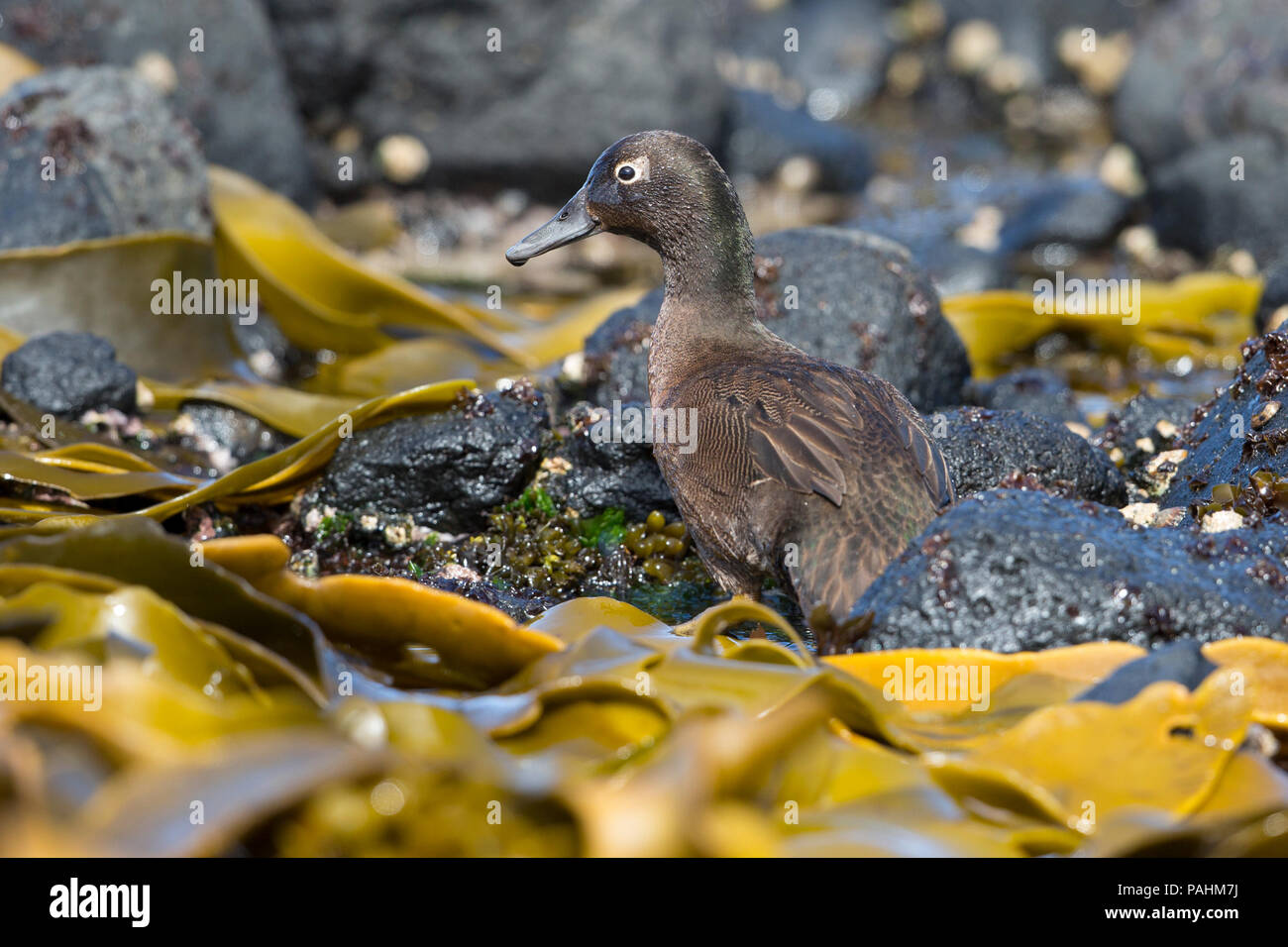 Auckland Teal ((Anas aucklandica), Auckland Islands, New Zealand - Stock Image