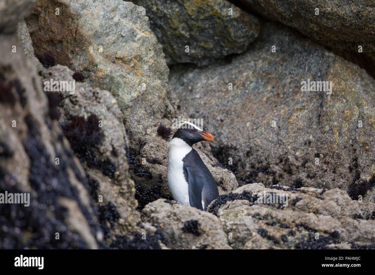 Fiordland penguin (Eudyptes pachyrhynchus) - Stock Image