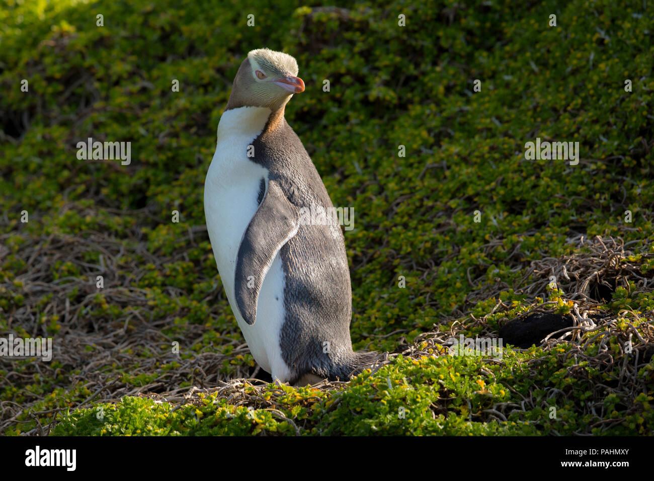 Yellow-eyed Penguin, Enderby Island, New Zealand - Stock Image