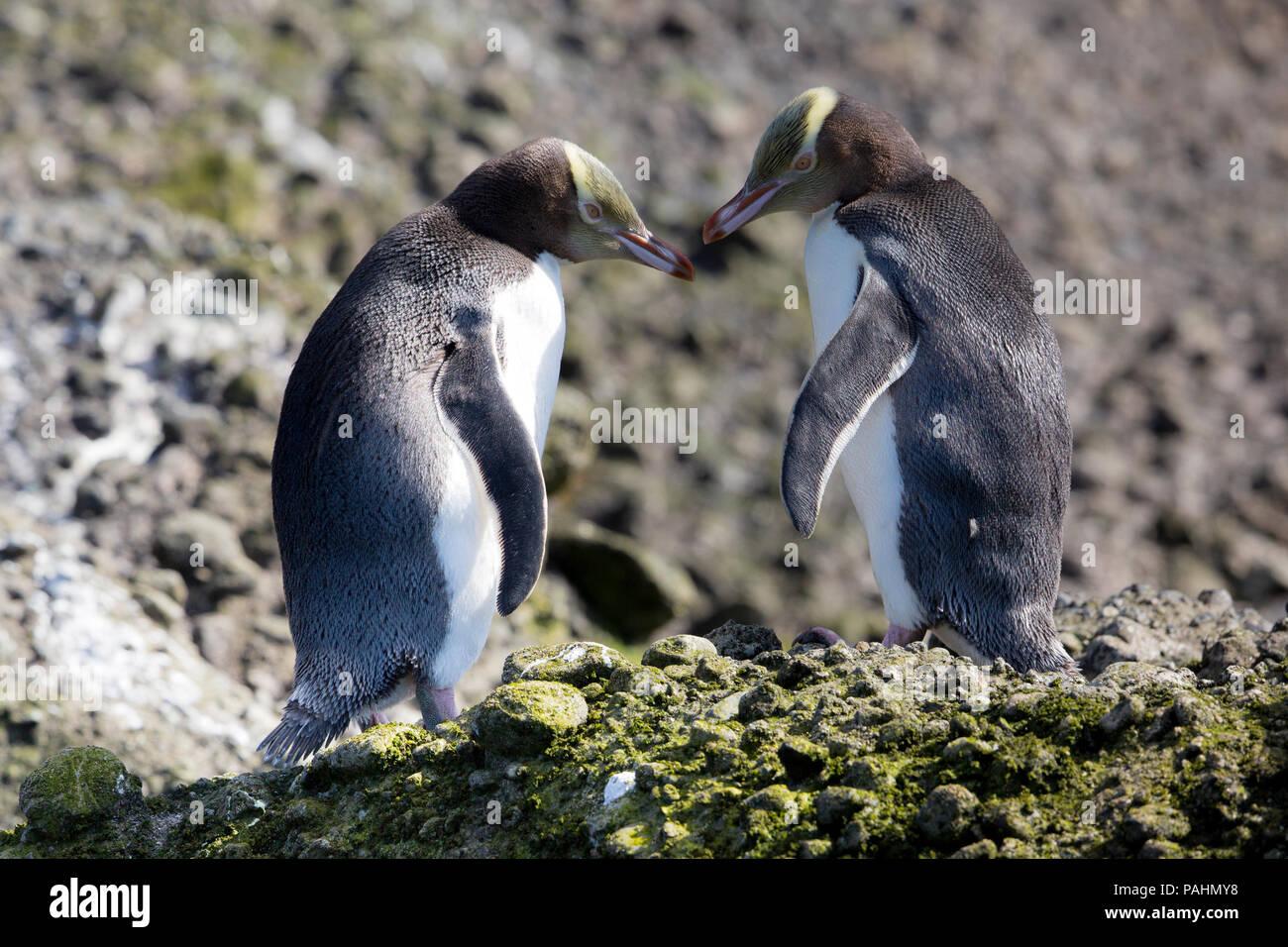 Yellow-eyed Penguin, Enderby Island, New Zealand Stock Photo