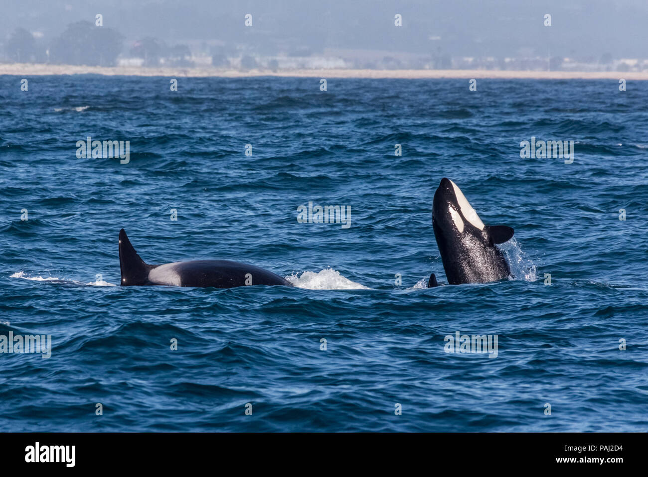 Whales in the Monterey Bay California - Stock Image