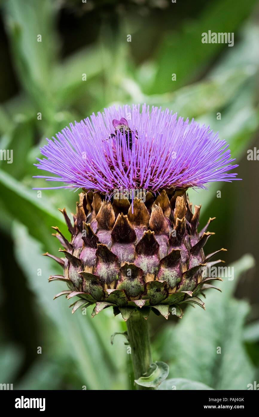 A honey bee collecting nectar from a Cardoon Cynara cardunculus. - Stock Image