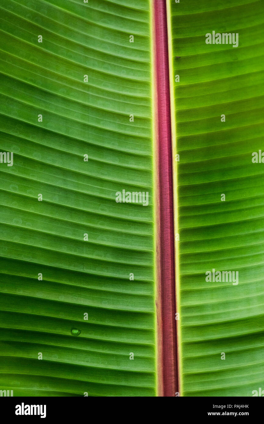 A closeup detail of a leaf of a Musa Red Abyssinian banana Ensete ventricosum Maurelli. - Stock Image