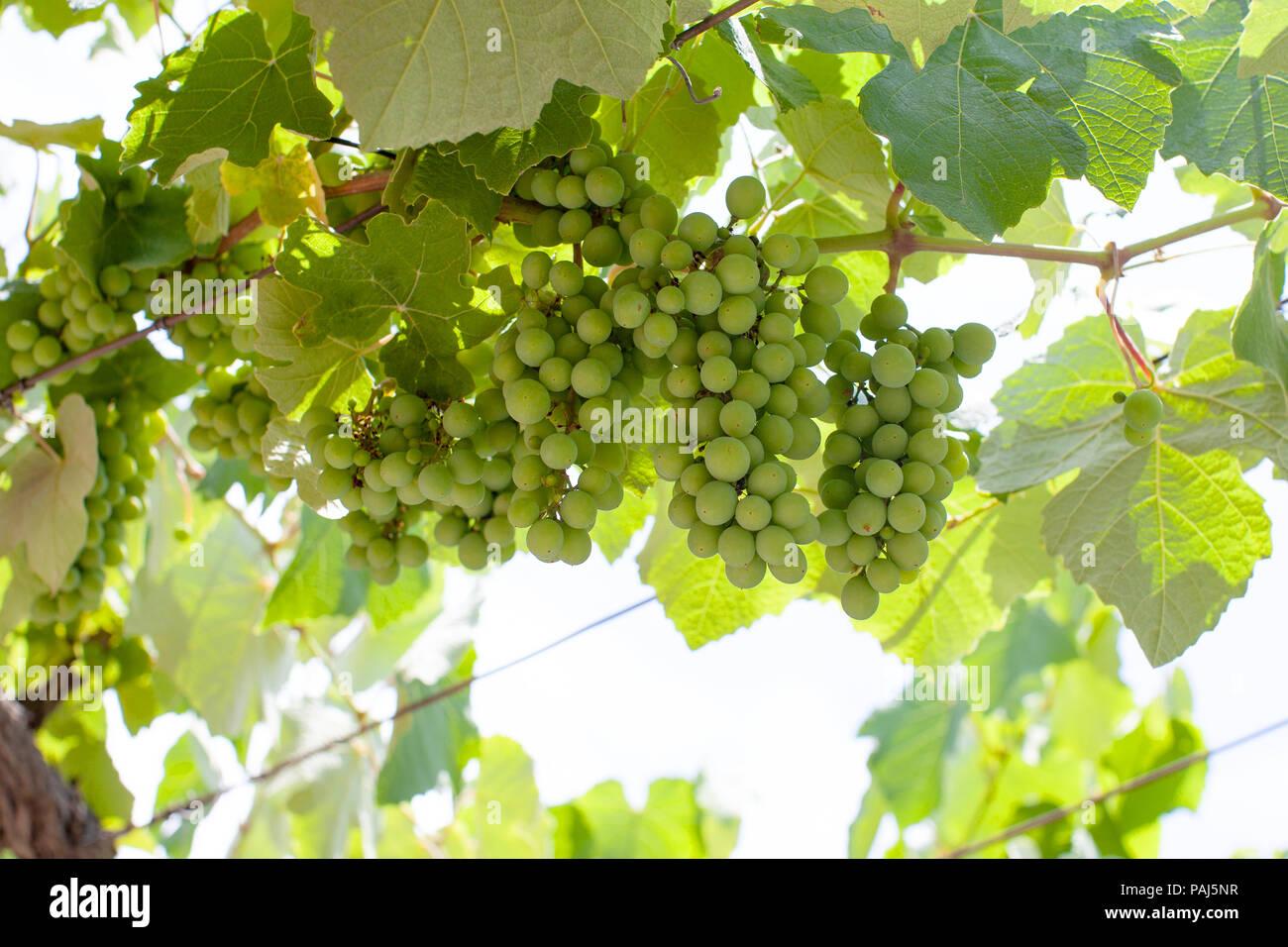 Grape, Weintrauben Stock Photo