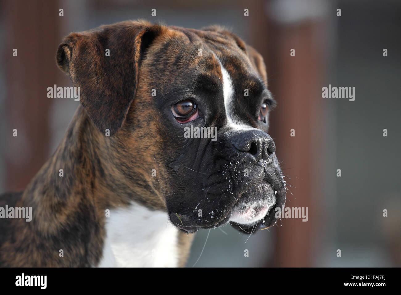 German boxer dog - Stock Image