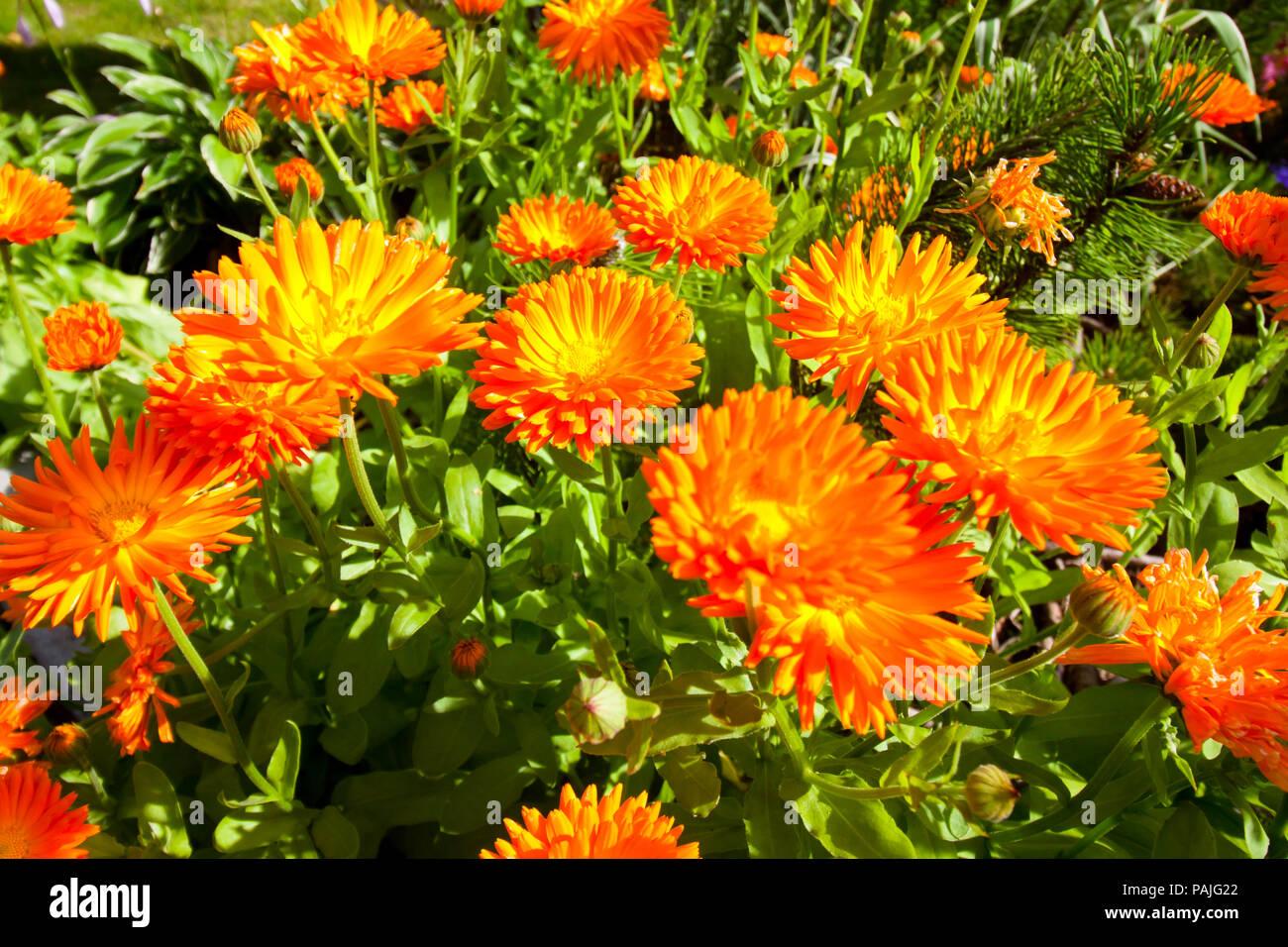 02944994d Beautiful calendula orange flowers in a garden Stock Photo ...