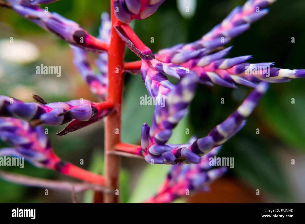 Aechmea Blue Rain Or Aechmea Blue Tango Flower Is A
