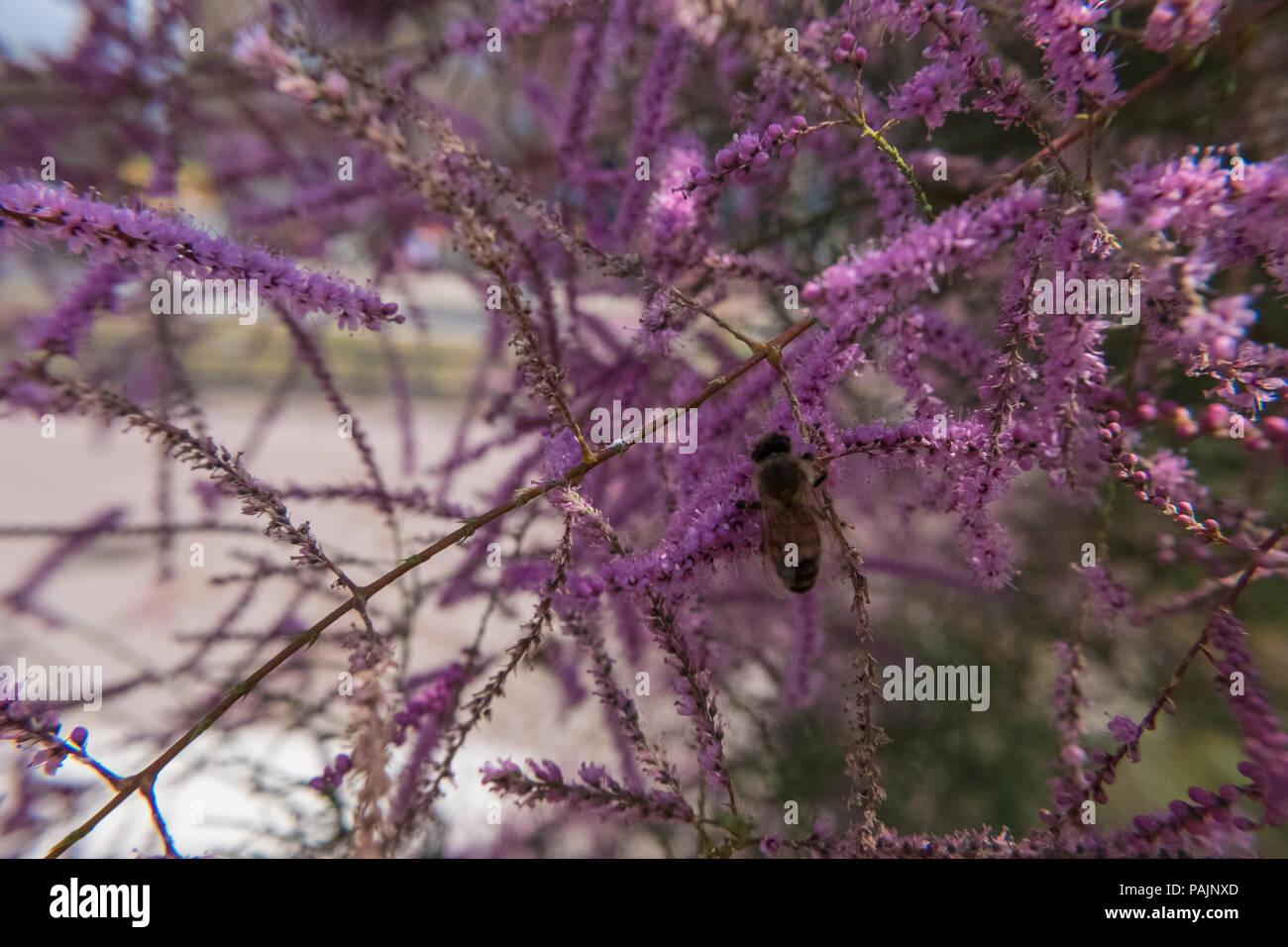 Tamarisk Or Tamarix Pink Flower Plant Beautiful Wild Nature Wallpaper Background No People